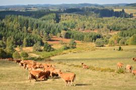 Vue du plateau avec vaches limousines